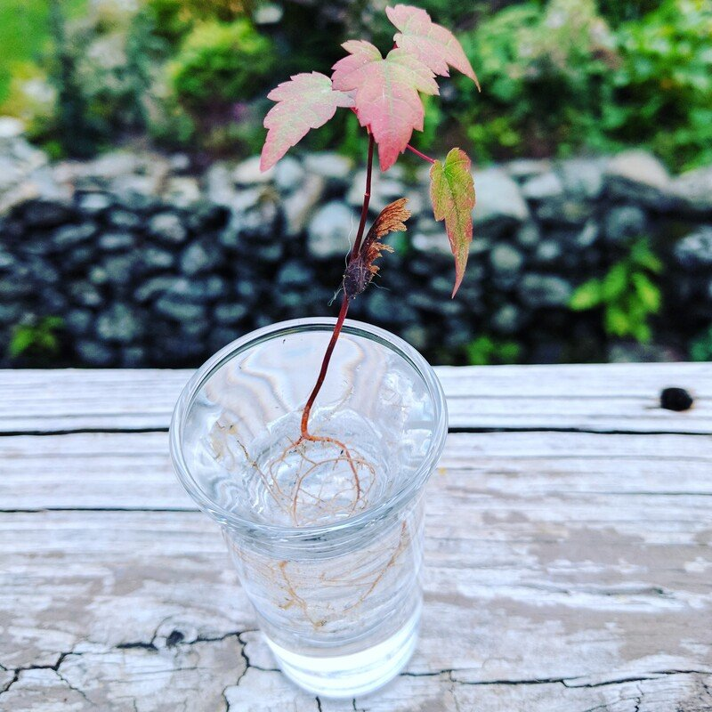 Maple Tree Seedling in glass